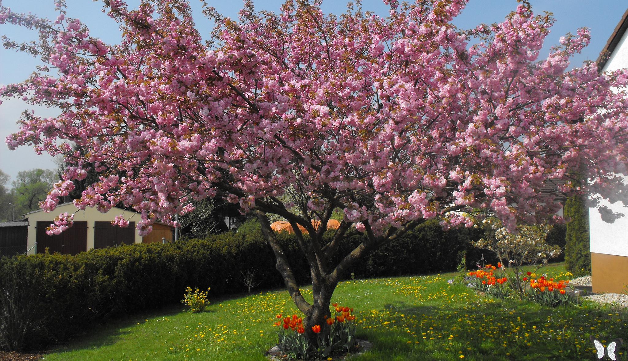 Lieblings Baum im Garten   Gartenpflege   HAUSmagazin &QH_44